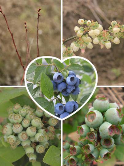 蓝莓成长变化