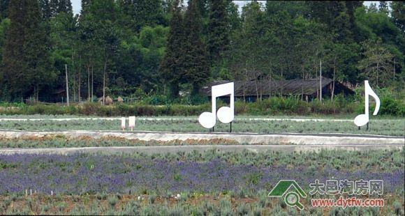 安仁薰衣草基地9月最新照片 尚未形成紫色花海 5